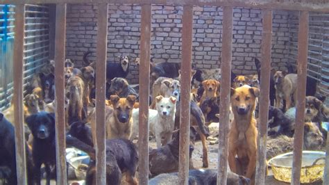 dog slaughter house stop now to stop dog meat