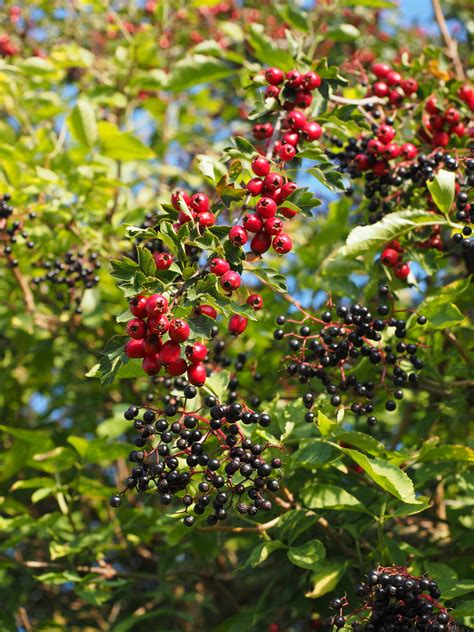 Sambucus Black 3456 by And Black Fruit Free Image Peakpx