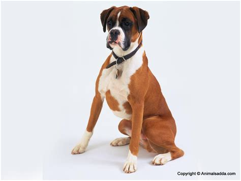 puppy prices by breed boxer facts pictures puppies price breeds characteristics information