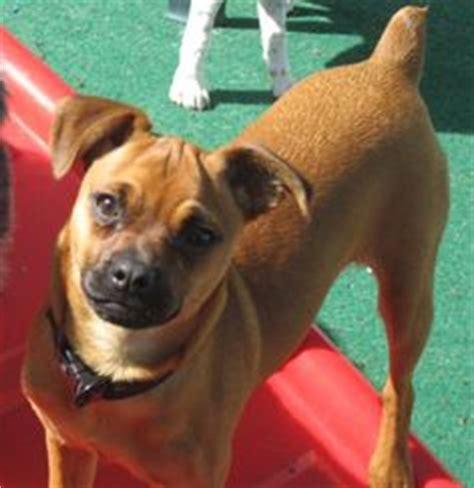 boxer pug mix pug on pugs beagle mix and pug chihuahua mix
