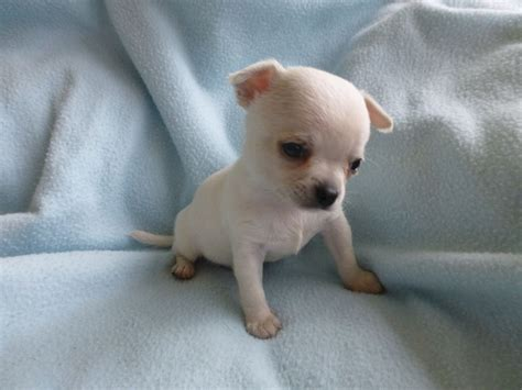 applehead chihuahua puppies white applehead chihuahua puppies images