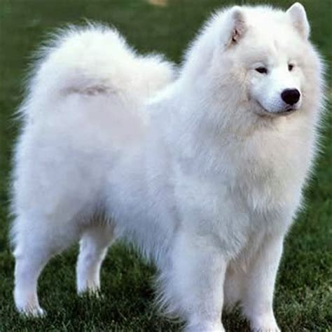 samoyed colors all breeds of dogs in the world samoied