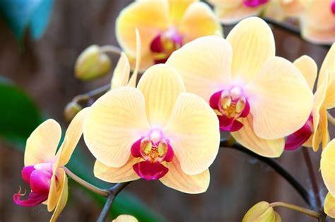 come curare l orchidea in vaso orchidea orchidee curare l orchidea