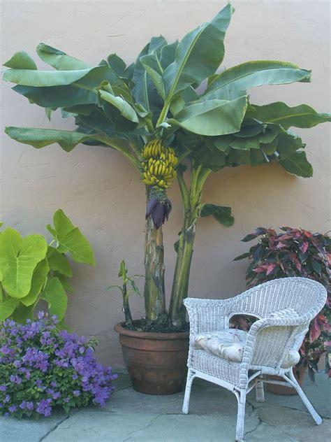 banana dwarf lady finger musa acuminata