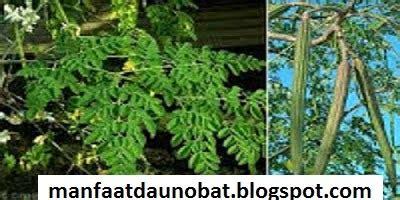 manfaat khasiat daun kelor  kesehatan tubuh