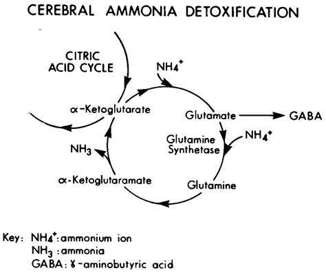 How To Detox Ammonia From Brain glutamate humpath human pathology