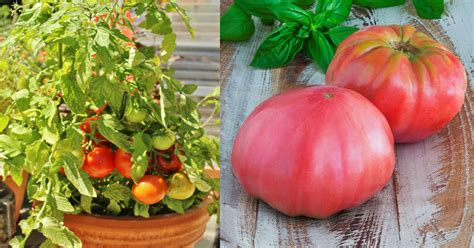 best tomato varieties to grow growing heirloom tomatoes in pots 5 best heirloom tomato