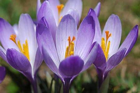 fiore croco fiori da piantare in autunno il croco pollicegreen