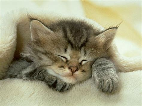 Sleep Cats why do cats sleep so much purrfect cat breeds