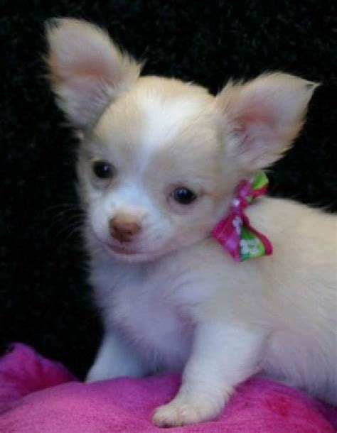 chihuahua puppies for adoption chihuahua puppies for free tiny tea cup chihuahua puppies for free adoption offer