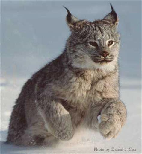 canadian snow lynx lynx