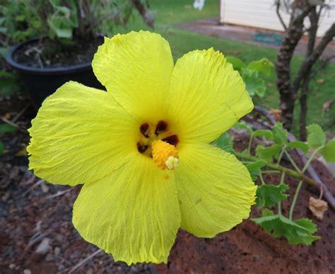 fiori hibiscus cura dell ibiscus domande e risposte fiori ibiscus