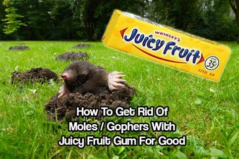 how to get rid of gophers in your backyard how to get rid of moles gophers with juicy fruit gum for