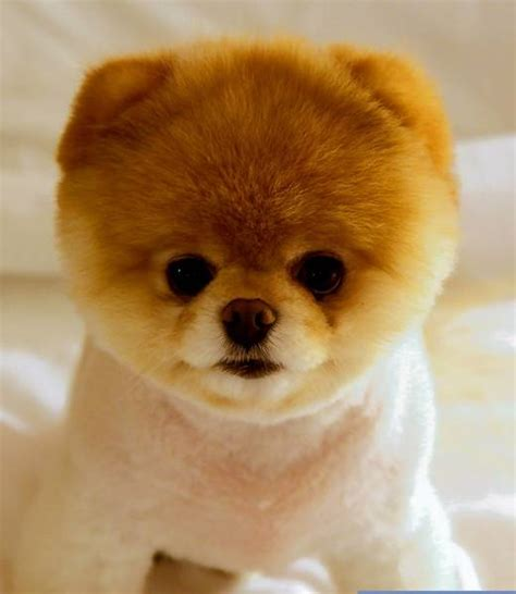 is boo the a pomeranian boo offers an easy way to care for a tribunedigital