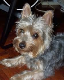 silky terrier hair cut australian terrier haircut best wedding hairs