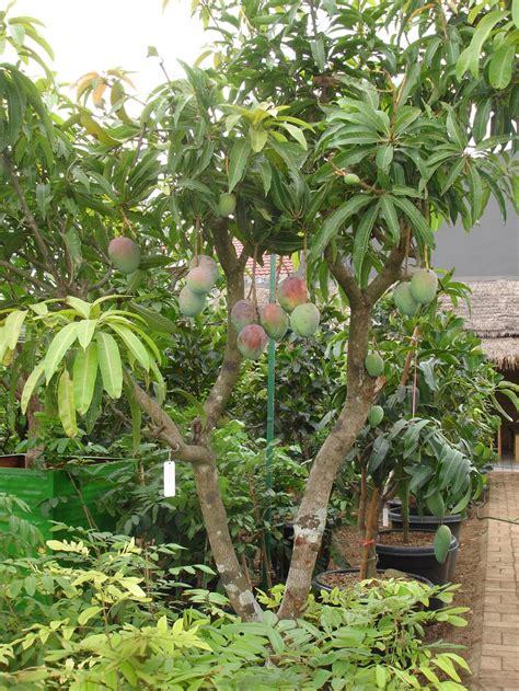 Jual Bibit Tanaman Anggur Di Jakarta bibit tanaman buah dalam pot jual bibit tanaman buah 0878 55000 800 page 6