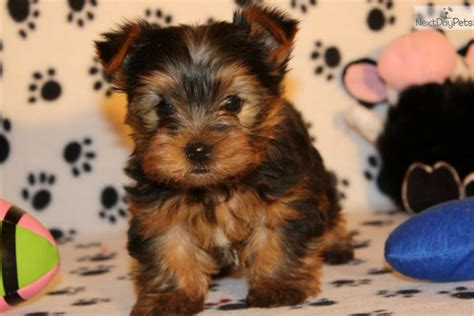 yorkie breeders in oklahoma puppies for sale terriers yorkies in grove oklahoma breeds picture