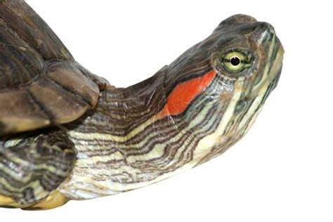 turtles are specialists at hearing underwater nature the earth times
