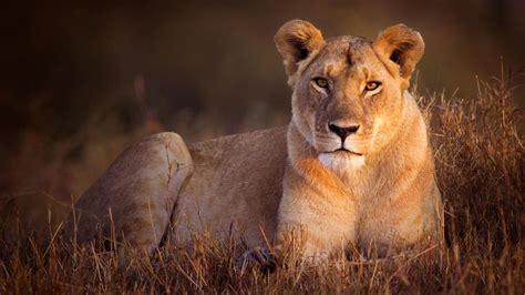 imagenes de leones felises la familia de los leones y los tigres est 225 perdiendo la
