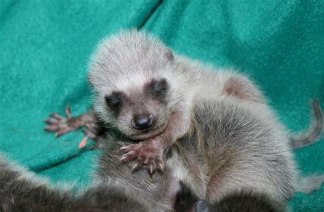 baby marder gallery newborn baby raccoons
