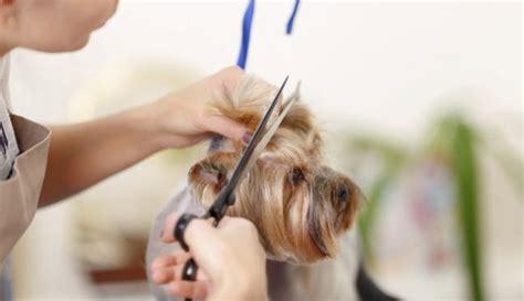 cortar el pelo a los perros consejos para cortar el pelo a tu perro informacion es
