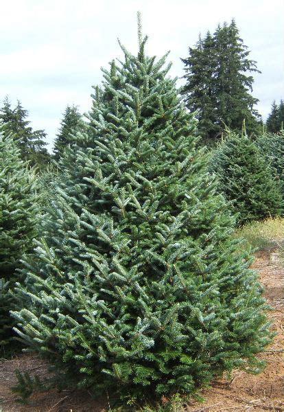 christmas trees at mcclure s tree nursery