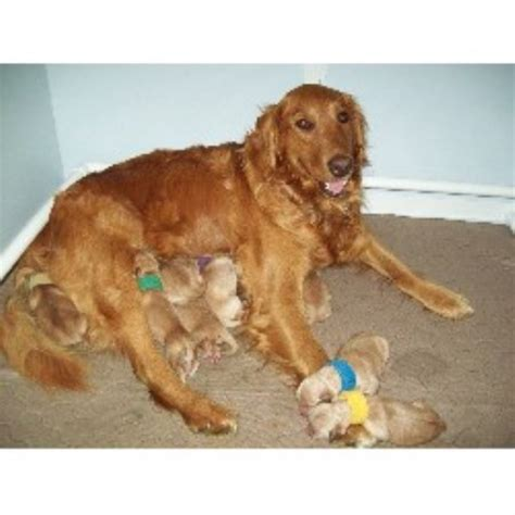 golden retrievers for sale in southern california labrador retriever for sale pets southern california design bild