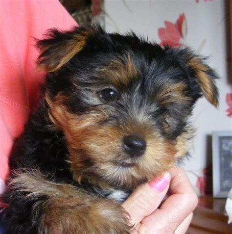porkie puppies terrier x porkie puppies mirfield west pets4homes