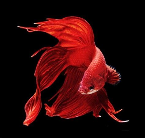 wallpaper iphone ikan 30 best images about animals on pinterest japanese koi