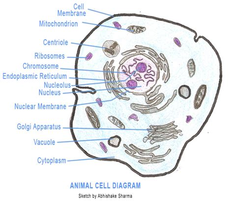 labeled cell diagram animal cell parts