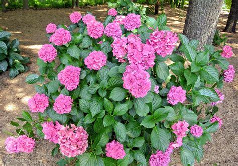 my blooming hydrangeas the martha stewart blog