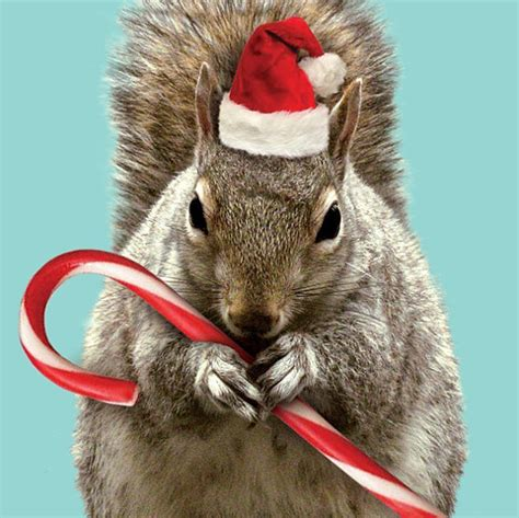 holiday christmas squirrel card christmas squirrel cute squirrel squirrel pictures
