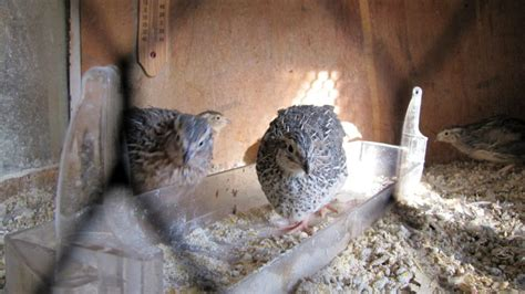 raising backyard quail how to raise backyard quail how to feed breed and care for quail