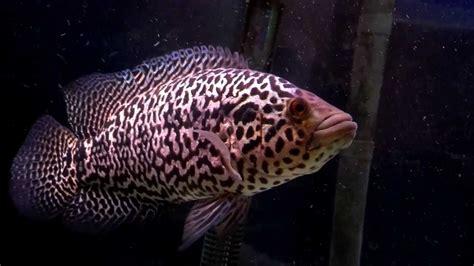 Jaguar Menaguense Cichlid managuense cichlid jaguar cicihlid jaguar guapote in aquarium