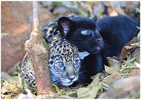 is jaguar endangered two jaguars an endangered species are born in
