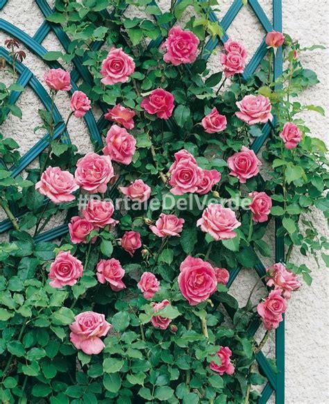 grandi fiori rosai a grandi fiori