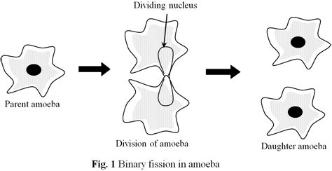 diagram of binary fission in amoeba binary fission amoeba www pixshark images