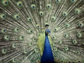 peacock blue desktop nature wallpaper indian blue peacock free