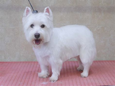 West Highland White Terrier Shedding by Grooming Highcroft Kennels And Cattery Highcroft