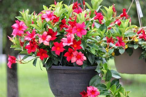 sundaville fiore dipladenia piante appartamento dipladenia pianta