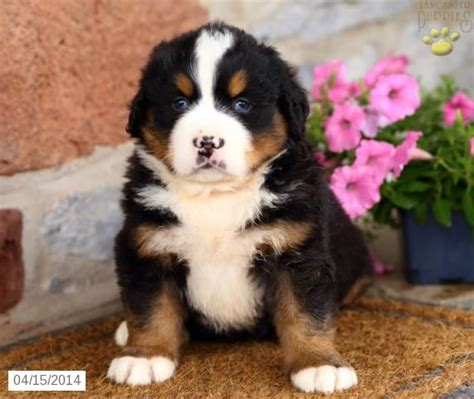 lancaster puppies pin by lancaster puppies on bernese mountain dogs