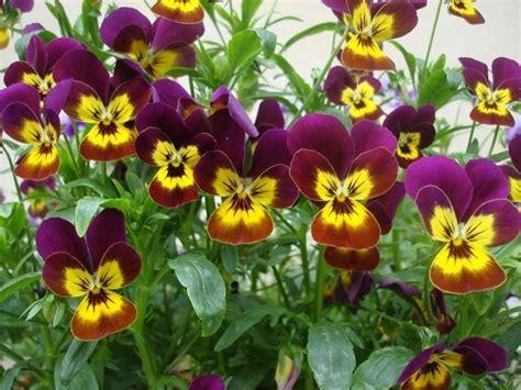 violetta fiore violetta fiore piante annuali conosci il fiore della