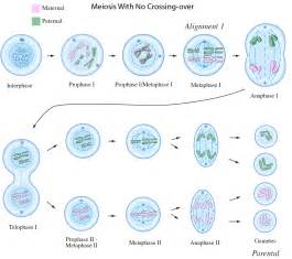 Meiosis prophase 1 diagram meiosis free engine image for user manual
