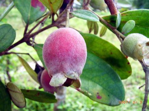 Bibit Bunga Edible buah kemunting rhodomyrtus tomentosa is to