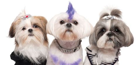 need pictures of shih tzu haircuts pet shih tzu purpose assistedlivingcares