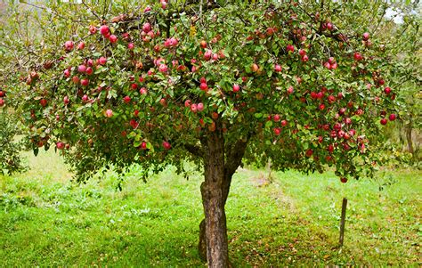 apple tree 6 tips for growing organic apples at home rodale s