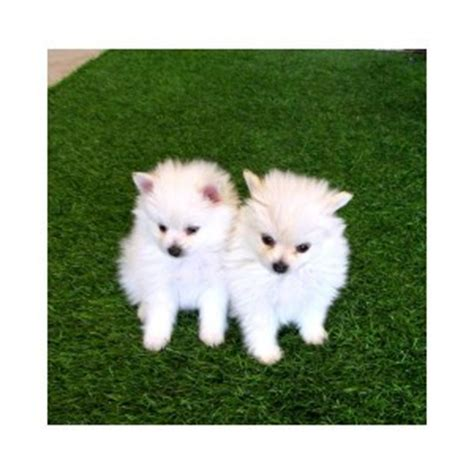 teacup pomeranian for sale in ky pets kentucky free classified ads