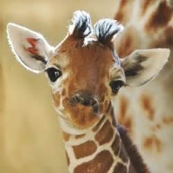 It s a boy baby giraffe born at zsl whipsnade zoo zoological