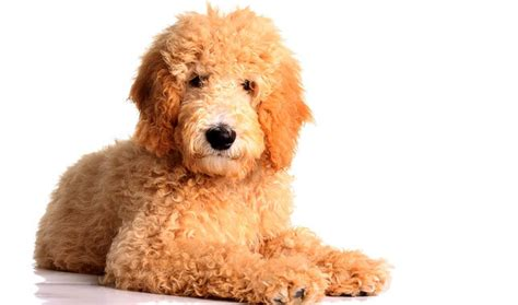how to a goldendoodle puppy goldendoodle breed information
