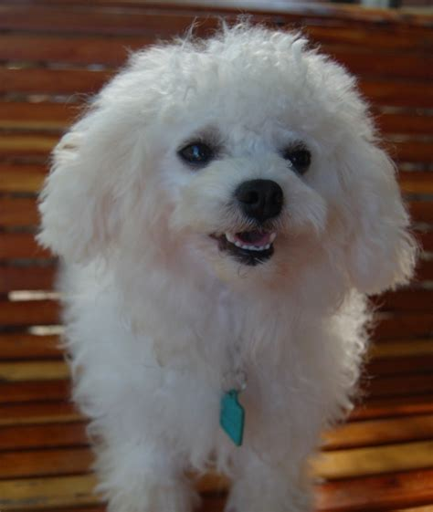 white bolognese puppies sale bolognese puppies breeds picture